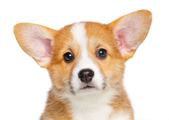 Welsh corgi puppy Dog  Isolated  on White Background in studio