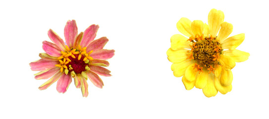 Flowers are pink petals. And flowers with pink petals. But there are flies. On the white background. Isolated flowers picture.