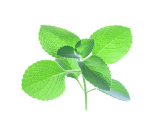asian leaves green isolated on white mint
