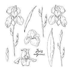 Set of clipart black and white iris, garden floral elements isolated on white background, vector