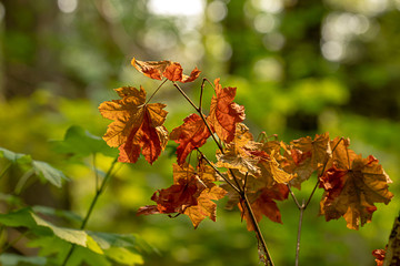 bright orange grouping of maple leaves in summer season