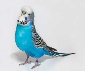 Blue wavy parrot on white background