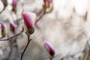 Blooming tree branches. Bloomy magnolia tree with big pink flowers. Perfect magnolia flowers. Spring background