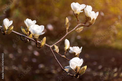 Blooming Tree Branches Bloomy Magnolia Tree With Big White Flowers