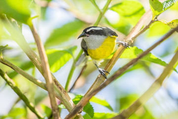 Tyran mélancolique (tropical kingbird), oiseau familier du Costa Rica
