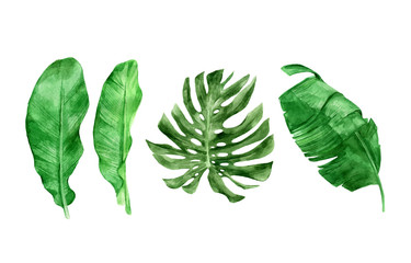 Beautiful tropical leaves collection, vector graphics isolated on the white background. Hand drawn plant (banana and monstera) illustration in watercolor technique. Large palm foliage.