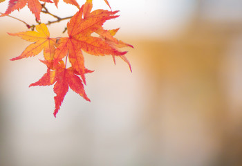 yellow red maple leaves autumn season background
