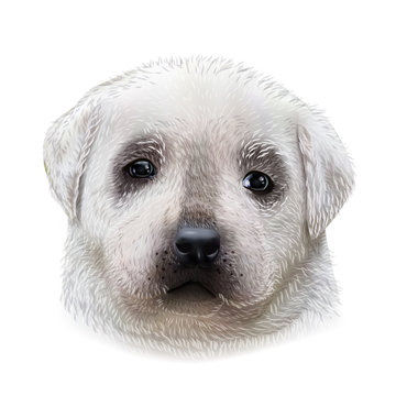Isolated colorful head and face of labrador retriever on white background. Image of yellow Labrador Retriever hand drawn vector