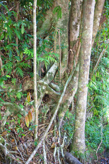 Tree trunks and roots  in The Daintree, Tropical North Queensland, Australia