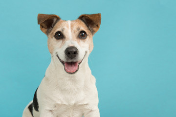 Portrait of a cute smiling Jack Russell terrier dog seen from the front on a blue background Wall mural