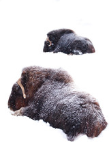 Powerful hairy musk oxen under heavy snowfall