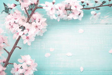 Spring floral background. Fresh pink cherry flowers on turquoise vintage wooden background, close-up macro, copy space. Wall mural