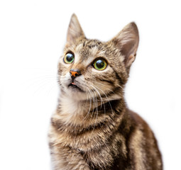 Grey striped cat shows the tongue isolated on white background