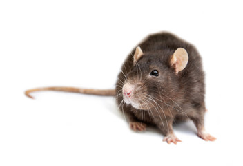 gray rat isolated on white background