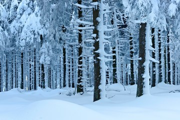 Snow-covered forest in winter, spruces under heavy snow load, Harz National Park, Lower Saxony, Germany, Europe