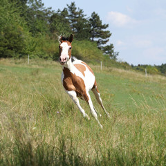 Fototapete - Beautiful horse running on pasturage