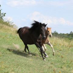 Fototapete - Running mare with foal on pasturage