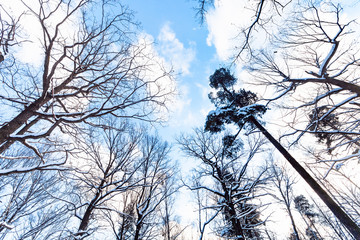 blue sky with white clouds between trees
