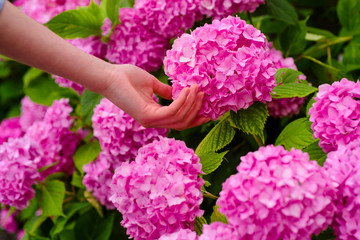 gardener with flowers. woman care of flowers in garden. Flower care and watering. soils and fertilizers. Greenhouse flowers. hydrangea. Spring and summer. Beginning of life. hand skincare