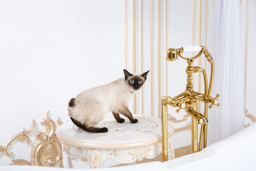The theme is luxury and wealth. A cat without a tail of the Mekong Bobtail breed in a retro bathroom in the interior of the Barocoo Versailles Palace. Jewel jewelery on the neck.