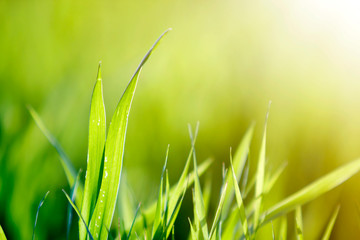 Close up macro abstract image of bright fresh clean light green grass blades growing on blurred green bokeh grassy background on sunny spring or summer day. Beauty of natural environment concept.