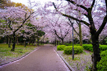 Sakura pink flower or Cherry Blossom tree and walk pathway park in spring, Japan