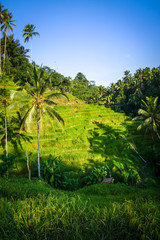 Paddy field rice terraces, ceking, Ubud, Bali, Indonesia