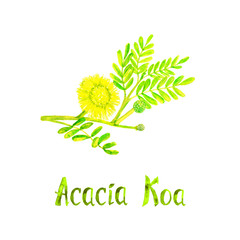 Acacia Koa branch with green leaves and yellow flower, hand painted watercolor illustration with inscription isolated on white