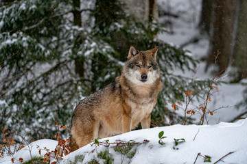 Aluminium Prints Wolf grey wolf in the snow