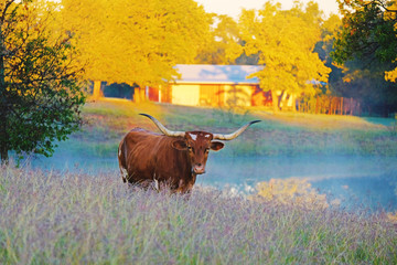 Wall Mural - Texas Longhorn on rural farm with fall color in background.