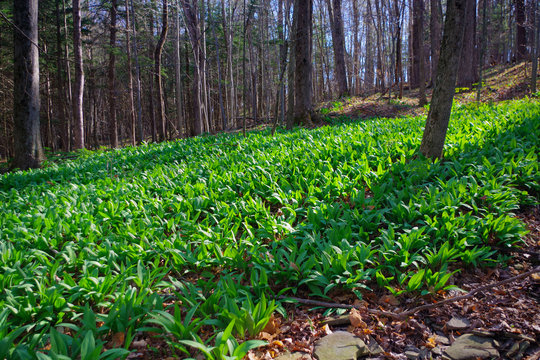 WIld Leeks / Ramps / Ramson (Allium tricoccum) emerging in the spring time forest. A favorite wild edible that foragers wild harvest.