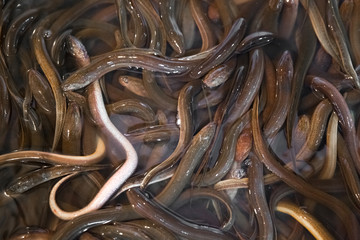 Bunch of eels in fish market in Shanghai, China