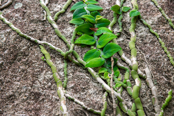 Climbing plant on a stone in rainforest