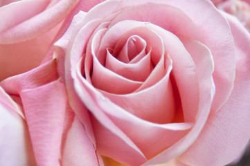 beautiful roses bunch closeup