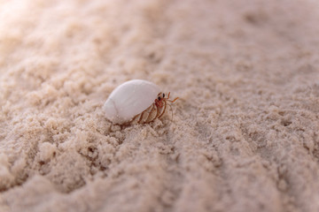 Close Up of a crab in the seashell walking on clear white sand