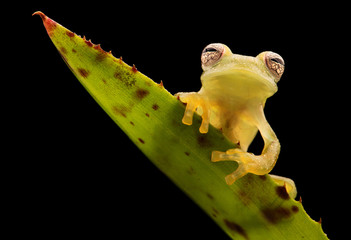 Glass frog, Teratohyla pulverata. A tropical rain forest animal from the Amazon jungle.