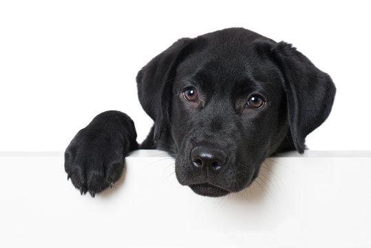 Labrador retriever puppy looking over a wall