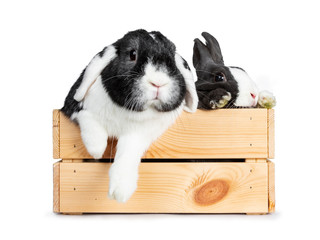 Cute grey with white European rabbit and black with white lop ear friend. Sitting in a wooden crate with front paws on the edge. Looking beside camera. Isolated on white background.