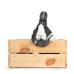 Cute grey with white European rabbit, Sitting in a wooden crate with front paws on the edge. Looking straight at camera. Isolated on white background.