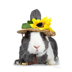 Cute grey with white European rabbit, Stting wearing a straw hat with sun flowers. Looking at camera facing front. Isolated on white background.