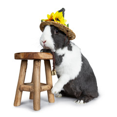 Cute grey with white European rabbit, Standing side ways with front paws on wooden stool wearing a straw hat with sun flowers. Looking straight at camera. Isolated on white background.
