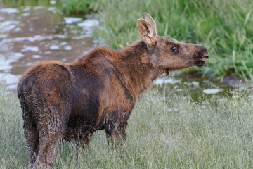Shiras Moose in the Rocky Mountains of Colorado. Moose Calf Near a Stream