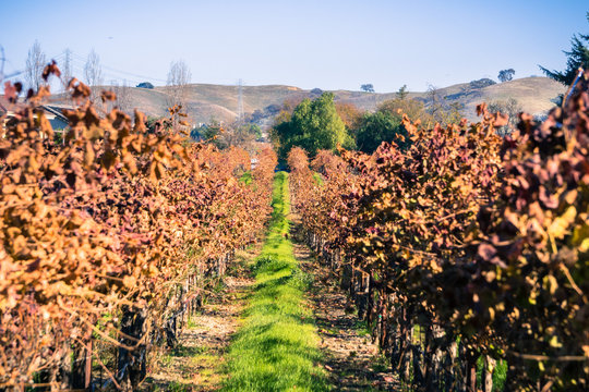 Green grass growing between the rows of a vineyard in December, Livermore, east San Francisco bay, California