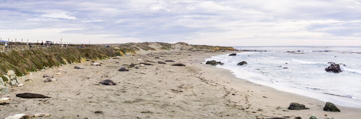 Elephant seals resting on a beach on the Pacific Ocean coastline during mating season; San Simeon, California