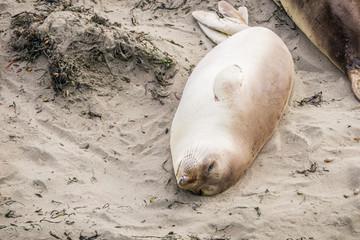 Female elephant seal sleeping on a beach in San Simeon, California during mating season