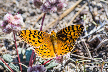 Close up of Pacific fritillary (Boloria epithore) butterfly sitting on a pink One seeded pussypaws (Cistanthe monosperma) wildflower, Lassen Volcanic National Park, Northern California