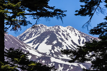 The snow covered summit of Shasta mountain framed by evergreen trees on a sunny summer day, California