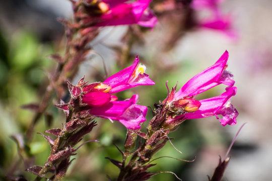 Close up of Mountain Pride (Penstemon newberryi) wildflowers blooming in Siskiyou County, Northern California