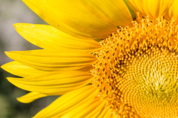 yellow sunflower close up amazing detail