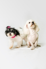 two dogs standing in a studio